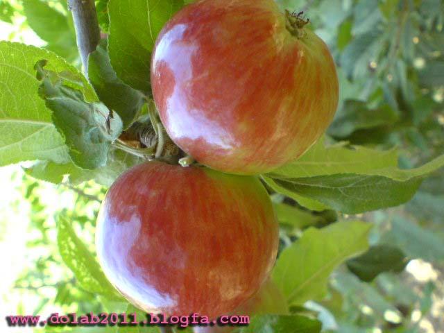 سیب  روستای دولاب